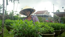 Growers in Central Vietnam restore ornamental flower after flood for Tet market