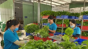 Workers of Tuan Ngoc Agricultural Cooperative in District 9 are processing vegetables before moving them to the consumption markets.
