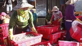 Ngư dân được mùa cá cơm đầu năm. Ảnh: NGUYỄN TRANG