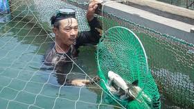 Cá bớp chết hàng loạt ở Quảng Ngãi
