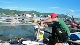 Quảng Ngãi: Cá bớp nuôi lồng bè đảo Lý Sơn chết bất thường