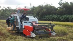 Quảng Ngãi: Nông dân khẩn trương thu hoạch trước bão Podul