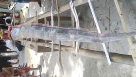 Cá hố dài 4m, nặng 15kg trôi dạt vào biển Quảng Ngãi là một con Oarfish Thái Bình Dương