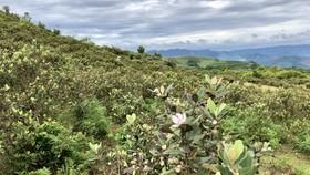 Quảng Ngãi: Tiến hành xử lý đào bới các loài cây có nguồn gốc tự nhiên về làm cây cảnh