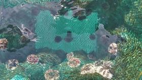 Quảng Ngãi: Nuôi thử nghiệm nhum sọ biển tại đảo Lý Sơn