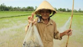 Quảng Ngãi: Chỉ 9 ngày có 237,5ha lúa xuất hiện dày đặc ốc bươu vàng gây hại