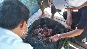 Quảng Ngãi: Mở rộng nuôi nhum sọ bảo vệ nguồn lợi thủy sản biển đảo Lý Sơn