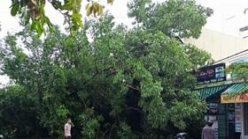 Cây đa đã ngã đè lên mái nhà của người dân gần đó
