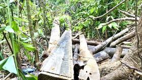 Quảng Ngãi: Làm rõ việc rừng phòng hộ Thác Trắng bị chặt phá