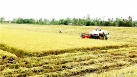 Sản xuất lúa ở ĐBSCL cần nguồn nước ngọt dồi dào. Ảnh: CAO PHONG