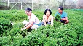 Rau VietGAP được trồng tại HTX Phước An. Ảnh: CAO THĂNG