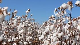 Việt Nam là thị trường tiêu thụ bông vải số 1 của Mỹ