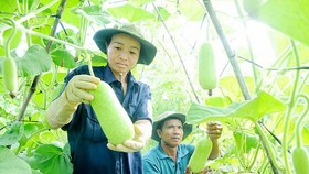Trồng bầu VietGAP xây dựng nông thôn mới tại huyện Hóc Môn. Ảnh: THÀNH TRÍ