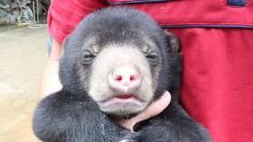 Gấu chó con được giải cứu, giao cho Trung tâm cứu hộ Gấu Việt Nam