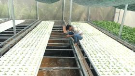 Trồng rau hữu cơ trên đất phèn