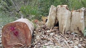 Nhân viên bảo vệ rừng thuê người phá rừng