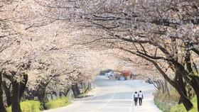 Mùa lễ hội hoa xuân tại Hàn Quốc