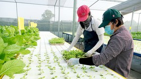 Trồng rau công nghệ cao của nông dân huyện Hóc Môn