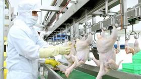 Quy trình giết mổ gà cung ứng cho thị trường TPHCM. Ảnh: THANH HẢI