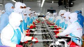 Chế biến tôm xuất khẩu tại một doanh nghiệp trên địa bàn tỉnh Cà Mau