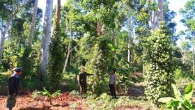 Tây Nguyên đẩy mạnh trồng rừng gỗ lớn