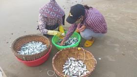 Mùa lưới cá trích ở thành phố biển Vũng Tàu
