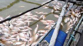 Cá trên đầm Ô Loan chết hàng loạt