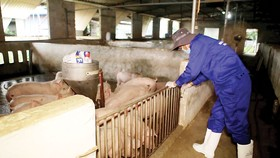 Liên kết chuỗi giúp phát triển ngành chăn nuôi theo hướng bền vững và đảm bảo nguồn thịt an toàn, chất lượng đến tay người tiêu dùng