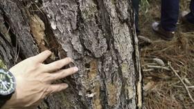 """Hàng trăm cây thông 30 năm tuổi bị """"tiêm"""" thuốc độc"""