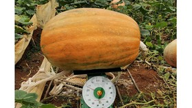 """Quả bí ngô """"khổng lồ"""" nặng hơn 120kg ở Đà Lạt"""