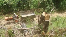 """Rừng thông tại Lâm Đồng tiếp tục bị """"cạo trọc"""""""