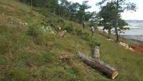 Thuê người cưa thông, lấn hơn 1.200m² đất rừng ở Đà Lạt