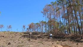 Lâm Đồng: Điều tra vụ phá rừng, lấn chiếm, mua bán đất lâm nghiệp trái phép