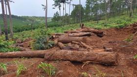 Lâm Đồng: Liên tục phát hiện gỗ thông bị chôn dưới vườn cà phê