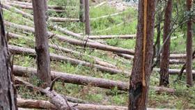 Rừng thông tại Lâm Đồng tiếp tục bị đốn hạ hàng loạt