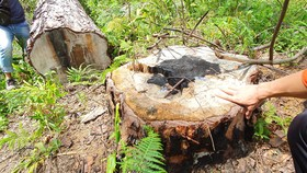 Khẩn trương điều tra vụ cưa hạ hàng loạt rừng thông cổ thụ ở Lâm Đồng