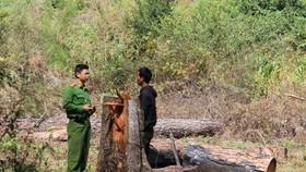 Xác định 5 đối tượng cưa hạ hàng loạt thông cổ thụ tại Lâm Đồng