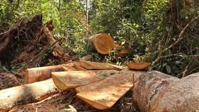 """Lâm Đồng """"hoả tốc"""" chỉ đạo điều tra, xử lý vụ rừng bạch tùng trăm tuổi bị cưa hạ"""