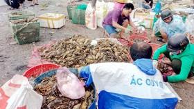 Tôm hùm chết chết hàng loạt ở vịnh Xuân Đài