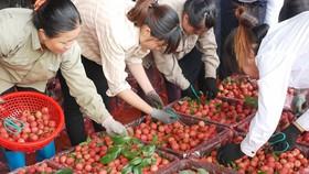 """Giữa vụ, nông dân trồng vải đã """"hái"""" 3.411 tỷ đồng"""