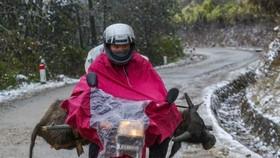Một con nghé non bị chết cóng vì băng giá ở xã Y Tý (Bát Xát - Lào Cai), người dân vội chở về trong tuyết lạnh. Ảnh: VIẾT CHUNG