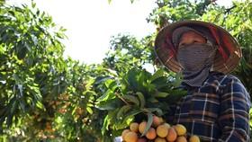 Lô vải thiều Việt Nam đầu tiên đi EU theo EVFTA