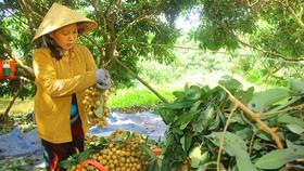 Tìm thị trường cho nhãn Sóc Trăng, Đồng Tháp