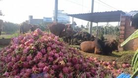 Thanh long không bán được, người dân Bình Thuận đổ cho gia súc ăn