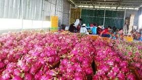 Một vựa thu mua thanh long ở Bình Thuận.