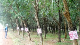 Rubber cultivation land is offered for sale in areas near Long Thanh airport project (Photo: SGGP)
