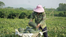 A farmer harvests watermelon in Quang Ngai province (Photo: SGGP)