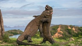 It is estimated there are about 5,700 Komodo dragons in the wild (Source: https://www.theguardian.com)