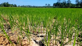 This rice field has been short of water for half a month (Photo: SGGP)