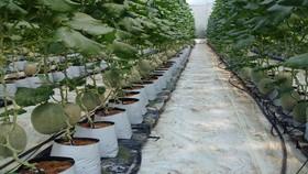 Mô hình trồng dưa lưới công nghệ cao của anh Lê Nguyễn Cẩm Tú